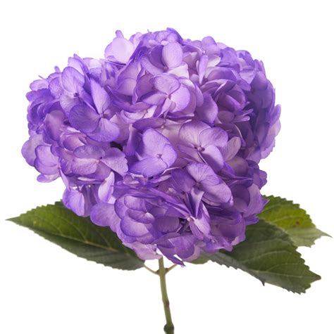 Purple Hydrangea purple hydrangea bulk hydrangea types of flowers flower muse wedding flowers