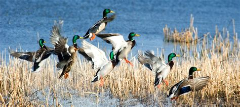 duck hunting from a boat regulations deer and waterfowl hunting regulations to be considered