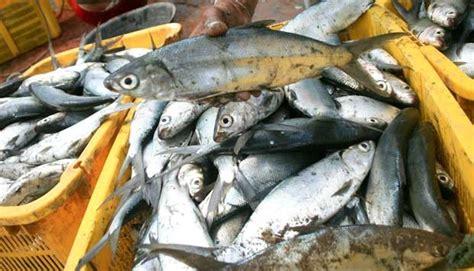 Bibit Ikan Bandeng pengusaha nilai larangan ekspor bibit bandeng tak perlu