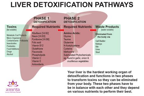 Liver Detox Wiki by What Does The Liver Do Craftbrewswag Info
