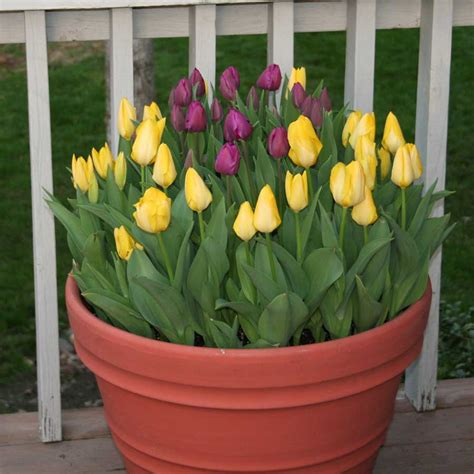 Tulips In Planters 7 tips for planting tulips