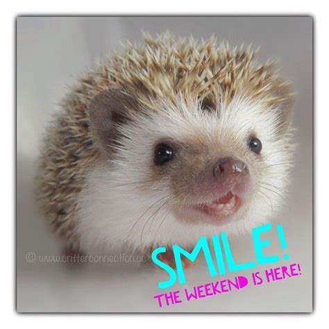 Hedgehog Meme - 111 best hedgehog memes funnies quotes and misc