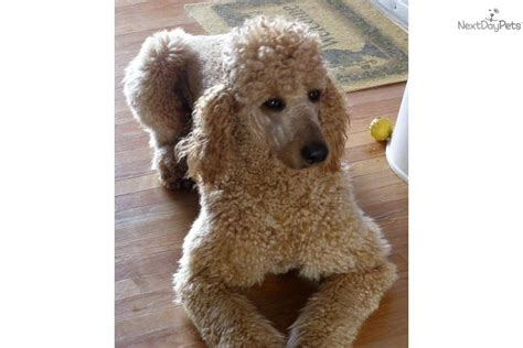 goldendoodle puppies for sale buffalo ny goldendoodle puppy for sale near buffalo new york