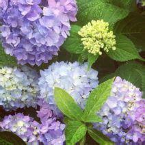 Garten Ideen 5091 by Hortensiensorten Die 6 Sch 246 Nsten Hortensien Arten