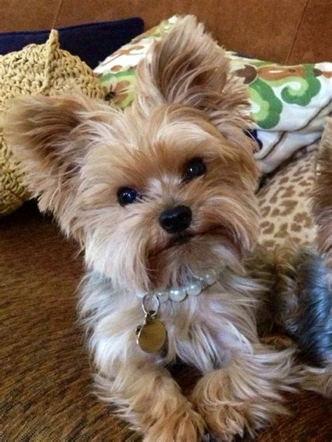 hairstyles for yorkies top 35 latest yorkie haircuts pictures yorkshire terrier