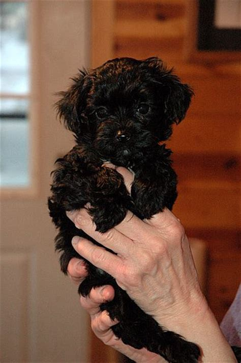 yorkie poo pictures and facts 25 b 228 sta yorkie poo puppies id 233 erna p 229 teacup yorkie maltipoo och yorkie