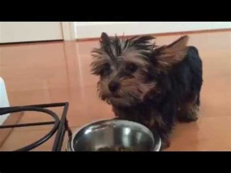healthy treats for yorkies food for yorkies recipe funnydog tv