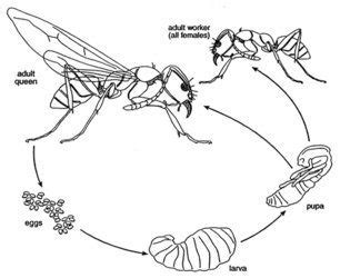 hornet cycle diagram yellow jacket wasp cycles habits pest plus