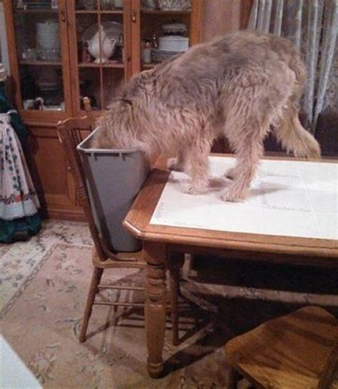 otterhound puppies for sale 17 images about otterhound dogs on hound westminster and toys