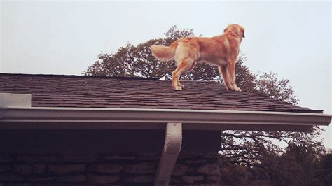roof dog meet huck the roof dog the dog who likes to hang out on
