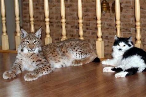 adopt a pet bobcat needs a home insidehalton com healthiana lynx cat