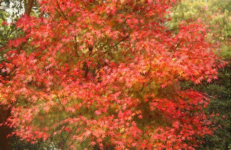 japanese maple tree dallas fannin tree farm frisco tx