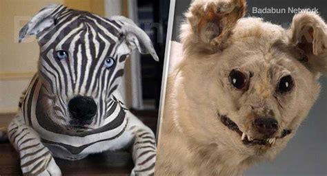 extinct dogs 13 breeds that are extinct