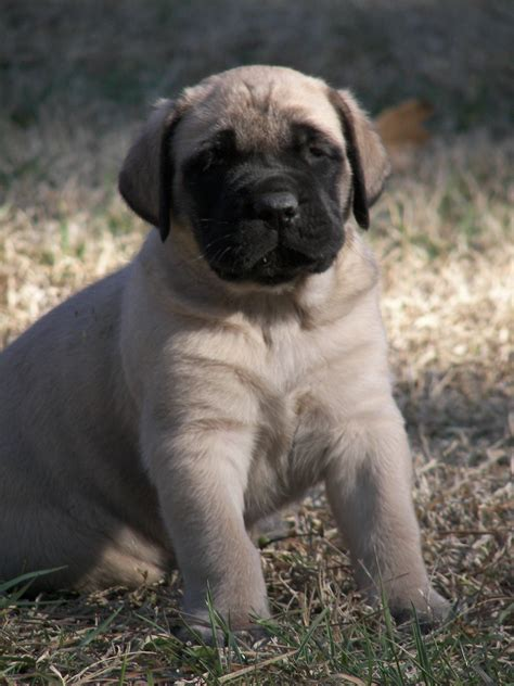 bullmastiff puppies for sale nc mastiff puppies for sale two ponds kennel