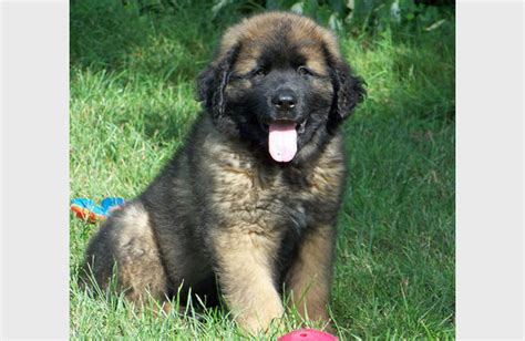 leonberger rottweiler mix large puppy
