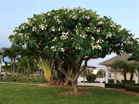 plumeria tree florida 17 best ideas about plumeria tree on pinterest florida