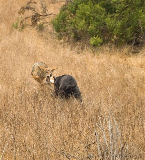 coyote vs rottweiler vs coyote www pixshark images galleries with a bite