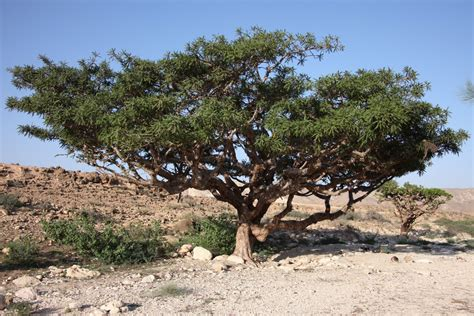 Tree L by What Is Frankincense The Garden Of Eaden