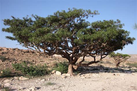 what is frankincense the garden of eaden
