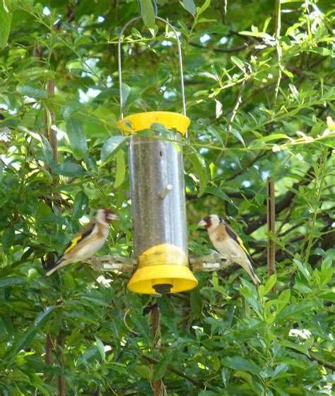 goldfinches images