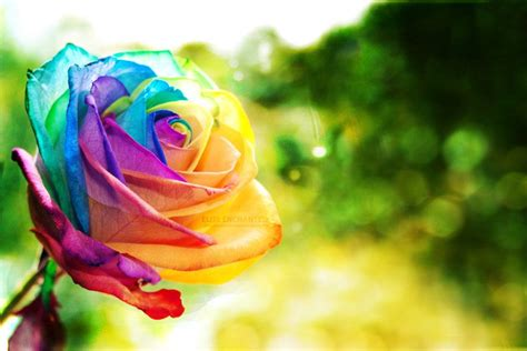 google wallpaper rose pretty rainbow backgrounds google search cool