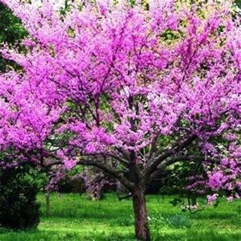 common front yard trees best 25 redbud trees ideas on eastern redbud