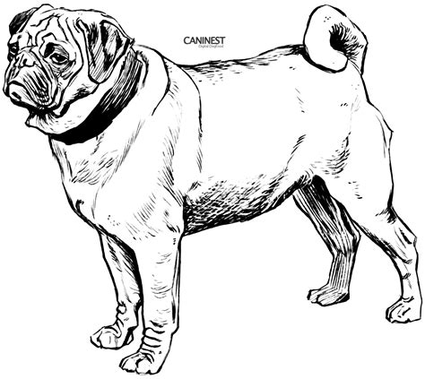 pug line drawing breed coloring pages