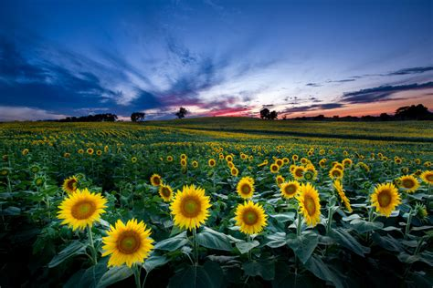 sunflower field in kansas sunflower field ted duboise kansas sunflower field at grinter farms in lawrence