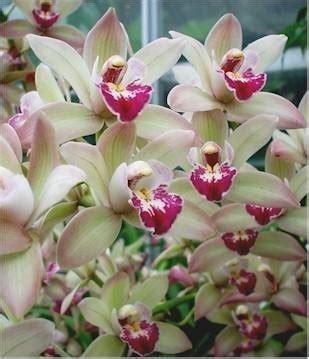 orchidea cymbidium orchidee