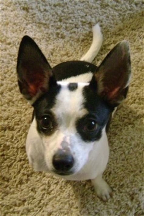ratcha puppies pictures of rat terriers mixed chiwawa breeds picture