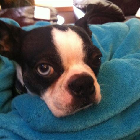 boston terrier puppies wisconsin pictures of terrier puppies and puppys on