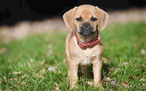 puggle dogs puppy puggle wallpaper cubs animals nature wallpaper collection
