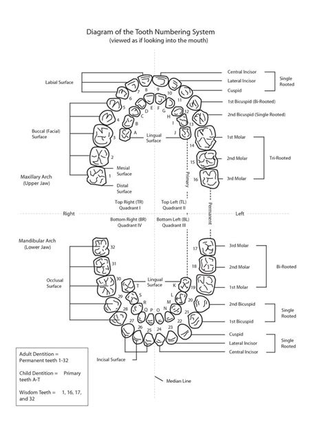 diagram of the tooth numbering system diagram of the tooth numbering system png png image 1275