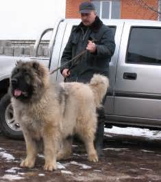 Jpeg 36 kb caucasian shepherd puppies for sale www petclassifieds us