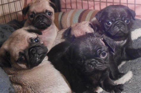ohio pug rescue available dogs pug puppies available for adoption dogs buy or for sale