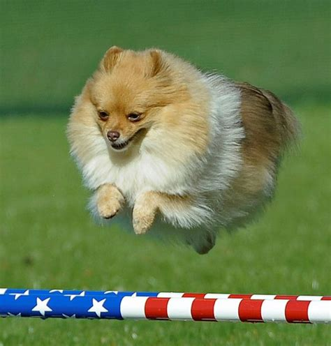 finch pomeranians what are the living breeds these dogs often live into their