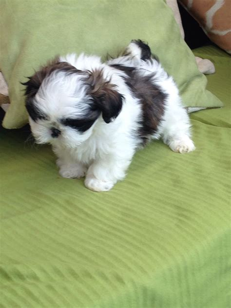 gray shih tzu grey and white shih tzu parents puppies bedworth warwickshire pets4homes