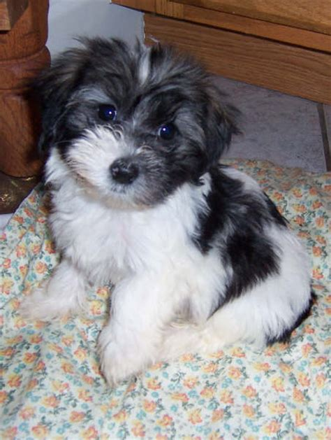 havanese problems havanese havanese puppies havanese breeder havanese puppies and dogs for