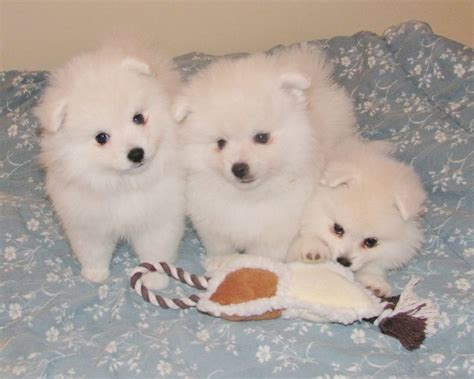 American Eskimo Shed by 99 Best Images About Miniature American Eskimo Dogs On