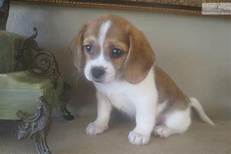 beaglier puppies beaglier puppy for sale near san diego california 5d418c0e 0fb1