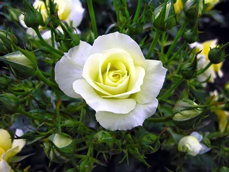 wallpaper bunga yg cantik kumpulan gambar bunga mawar putih yang cantik indah blog