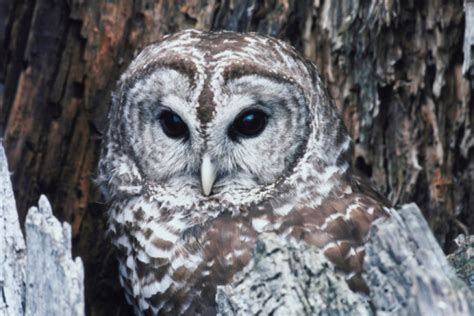 how to attract a barred owl to an owl house hunker