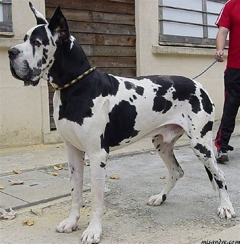 great dane colors harlequin 25 best ideas about harlequin great danes on