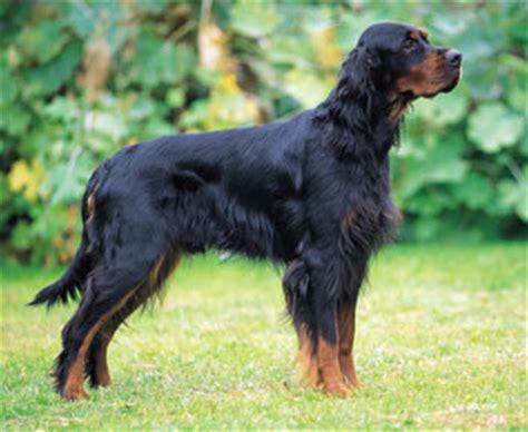 Gordon setter dog breed profile petplanet co uk