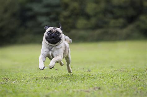 running pugs speed ahead about pug