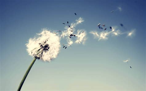 wallpaper bunga dandelion wallpapers dandelion flowers wallpapers
