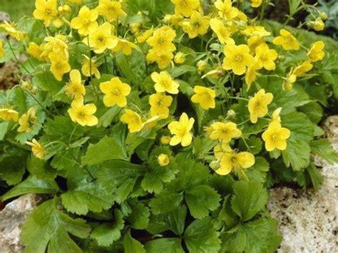 pianta dai fiori gialli w di waldsteinia ternata tappezzante sempreverde