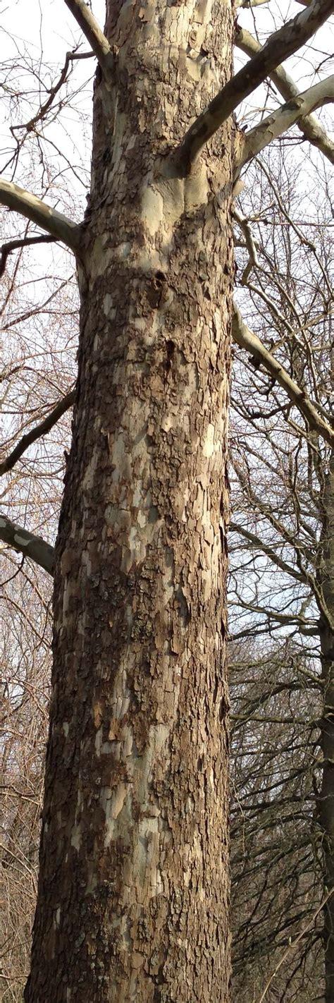 Sycamore Tree Shedding Bark by Peeling Sycamore Tree Bark Is Normal Top Heavy Hydrangea Plants Should I Treat Lawn For