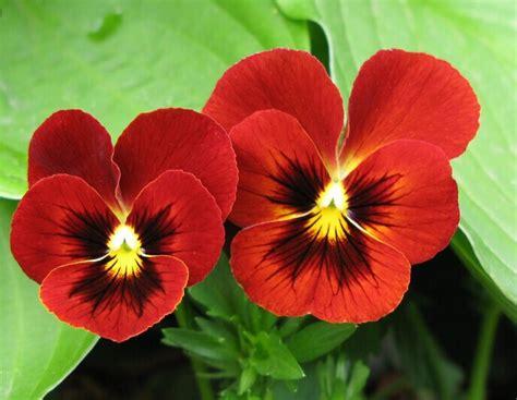 Benih Bunga Viola Jenis 4 jual biji benih bunga viola tricolor viola