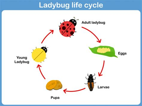 bug cycle diagram ladybug cycle kid printables cycling and students